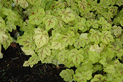 Yellowstone Falls Foamy Bells (Heucherella 'Yellowstone Falls') at Valley View Farms
