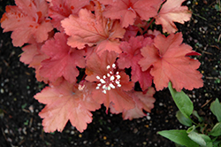Rio Coral Bells (Heuchera 'Rio') at Valley View Farms