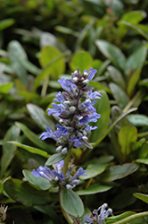 Blueberry Muffin Bugleweed (Ajuga reptans 'Blueberry Muffin') at Valley View Farms