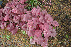 Georgia Plum Coral Bells (Heuchera 'Georgia Plum') at Valley View Farms
