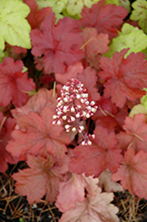 Fire Alarm Coral Bells (Heuchera 'Fire Alarm') at Valley View Farms
