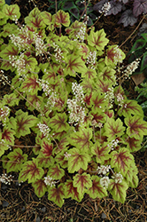 Stoplight Foamy Bells (Heucherella 'Stoplight') at Valley View Farms