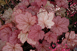 Georgia Peach Coral Bells (Heuchera 'Georgia Peach') at Valley View Farms