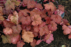Southern Comfort Coral Bells (Heuchera 'Southern Comfort') at Valley View Farms