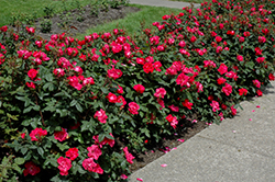 Knock Out® Rose (Rosa 'Radrazz') at Valley View Farms