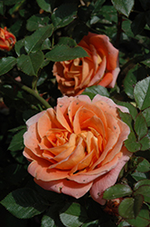 Amber Sunblaze® Rose (Rosa 'Meiludoca') at Valley View Farms