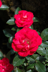 Cherry Sunblaze® Rose (Rosa 'Meibekarb') at Valley View Farms