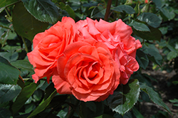 Marmalade Skies Rose (Rosa 'Marmalade Skies') at Valley View Farms