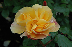 Tequila Rose (Rosa 'Meipomolo') at Valley View Farms
