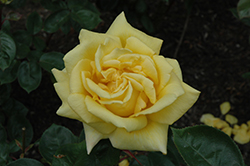 Oregold Rose (Rosa 'Oregold') at Valley View Farms
