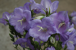 Takion Blue Peachleaf Bellflower (Campanula persicifolia 'Takion Blue') at Valley View Farms