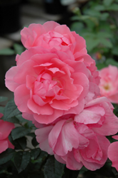 Passionate Kisses® Rose (Rosa 'Meizebul') at Valley View Farms