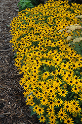 Little Goldstar Coneflower (Rudbeckia fulgida 'Little Goldstar') at Valley View Farms