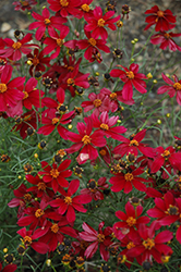 Red Satin Tickseed (Coreopsis 'Red Satin') at Valley View Farms