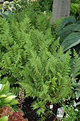 Lady in Red Fern (Athyrium filix-femina 'Lady in Red') at Valley View Farms