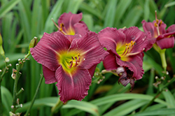 Little Grapette Daylily (Hemerocallis 'Little Grapette') at Valley View Farms