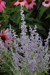 Denim 'n Lace Russian Sage (Perovskia atriplicifolia 'Denim 'n Lace') at Valley View Farms