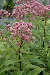 Baby Joe Dwarf Joe Pye Weed (Eupatorium dubium 'Baby Joe') at Valley View Farms