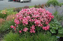 Glamour Girl Garden Phlox (Phlox paniculata 'Glamour Girl') at Valley View Farms