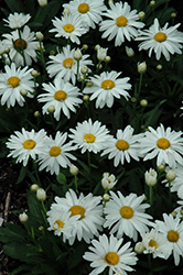 Whoops-A-Daisy Shasta Daisy (Leucanthemum x superbum 'Whoops-A-Daisy') at Valley View Farms
