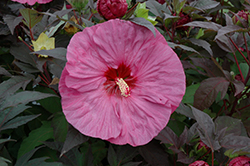 Berry Awesome Hibiscus (Hibiscus 'Berry Awesome') at Valley View Farms