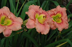 Elegant Candy Daylily (Hemerocallis 'Elegant Candy') at Valley View Farms
