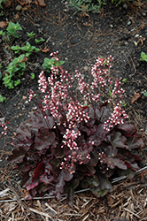 Dolce® Brazen Raisin™ Coral Bells (Heuchera 'Inheubrara') at Valley View Farms