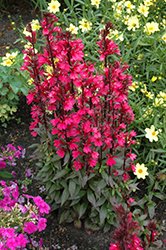 Starship Deep Rose Lobelia (Lobelia 'Starship Deep Rose') at Valley View Farms