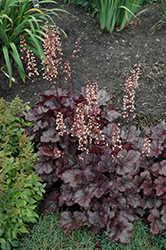 Grape Expectations Coral Bells (Heuchera 'Grape Expectations') at Valley View Farms