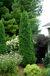 North Pole® Arborvitae (Thuja occidentalis 'Art Boe') at Valley View Farms
