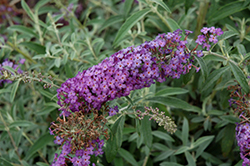 Blue Knight Butterfly Bush (Buddleia 'Blue Knight') at Valley View Farms