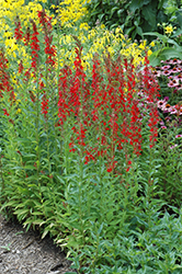 Cardinal Flower (Lobelia cardinalis) at Valley View Farms