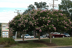 Choctaw Crapemyrtle (Lagerstroemia 'Choctaw') at Valley View Farms