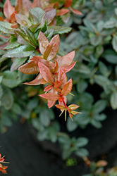 William Penn Barberry (Berberis x gladwynensis 'William Penn') at Valley View Farms