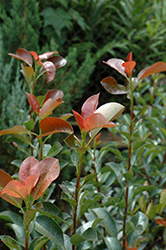 Red Tip Photinia (Photinia x fraseri 'Red Tip') at Valley View Farms