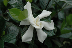 August Beauty Gardenia (Gardenia jasminoides 'August Beauty') at Valley View Farms