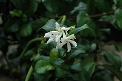 Madison Star-Jasmine (Trachelospermum jasminoides 'Madison') at Valley View Farms