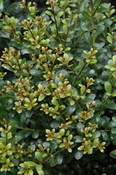 Compact Inkberry Holly (Ilex glabra 'Compacta') at Valley View Farms