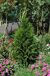 Steeplechase Arborvitae (Thuja 'Steeplechase') at Valley View Farms