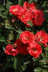 Coral Drift® Rose (Rosa 'Meidrifora') at Valley View Farms