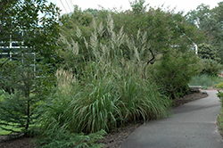 Pampass Grass (Erianthus ravennae) at Valley View Farms