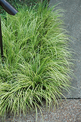 Grassy-Leaved Sweet Flag (Acorus gramineus 'Ogon') at Valley View Farms