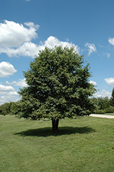 Black Gum (Nyssa sylvatica) at Valley View Farms