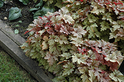 Honey Rose Foamy Bells (Heucherella 'Honey Rose') at Valley View Farms