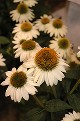 Snow Bomb Coneflower (Echinacea 'Snow Bomb') at Valley View Farms