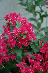 Sonic Bloom Red® Reblooming Weigela (Weigela florida 'Verweig 6') at Valley View Farms