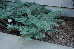 Angelica Blue Juniper (Juniperus x media 'Angelica Blue') at Valley View Farms