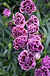 Sunflor® Finesse Carnation (Dianthus caryophyllus 'Sunflor Finesse') at Valley View Farms