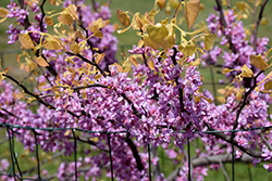 The Rising Sun Redbud (Cercis canadensis 'The Rising Sun') at Valley View Farms
