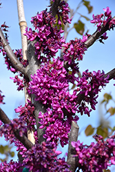Oklahoma Redbud (Cercis canadensis 'Oklahoma') at Valley View Farms